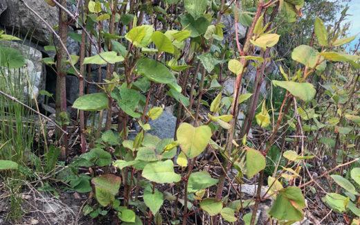 Så tar du hand om växtavfall av invasiva främmande arter